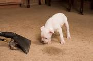 Carpet Pet stain removal - a puppy sniffs a wet vac near a carpet stain